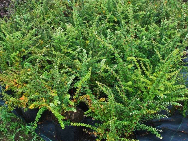 big_berberis_thunbergii_green_ornament.jpg