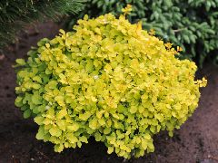 berberis_thunbergii_tiny_gold.jpg
