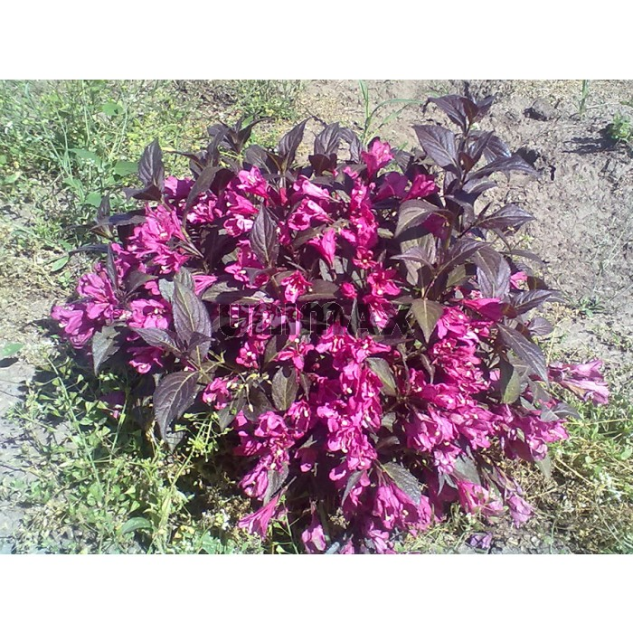 036-weigela_florida_purpurea_nana.jpg