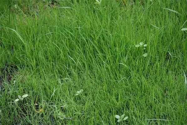 Сорняк в газоне
